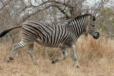 SA05670-Zebra