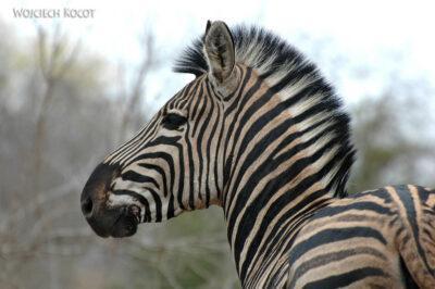 SA05673-Zebra