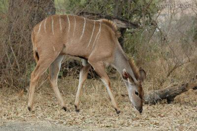 SA05676-Kudu