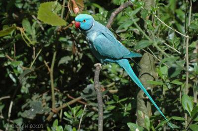 SA18035-Też jakaś papuga