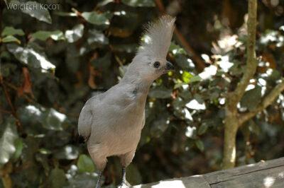SA18042-Grey Lourie (Go-away Bird) - Hałaśnik Szary
