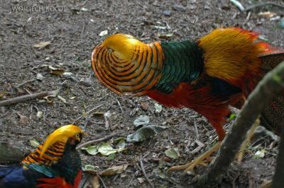SA18085-Golden Pheasant