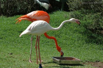 SA18133-Greater Flamingo
