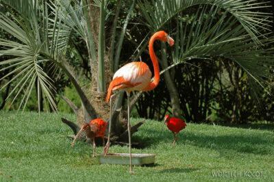 SA18144-Greater Flamingo