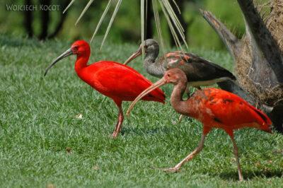 SA18146-Scarlet Ibis
