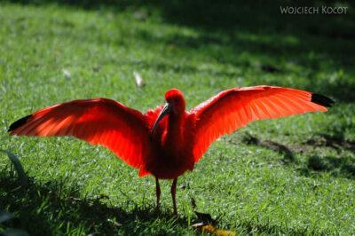 SA18181-Scarlet Ibis