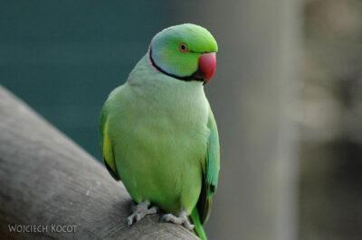 SA18251-Kwa iIndian Ringneck Parakeet