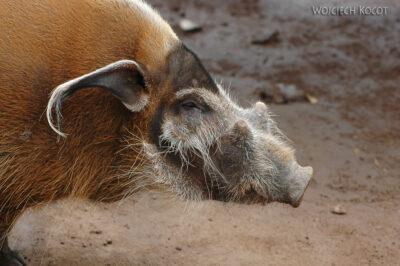 SA20032-Dzika świnia