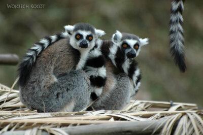 SA20056-Lemury