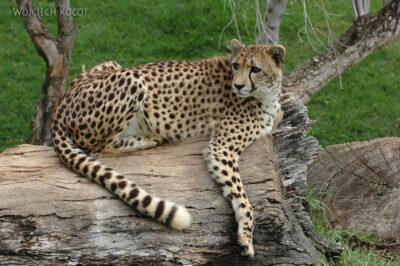 SA20133-Gepard