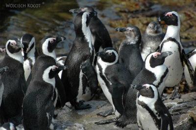 SA25048-Stony Point - Pingwiny