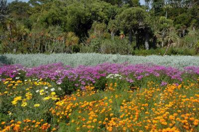 SA27008-Ogr.Bot - Wioswnne Kwiaty Przylądkowe