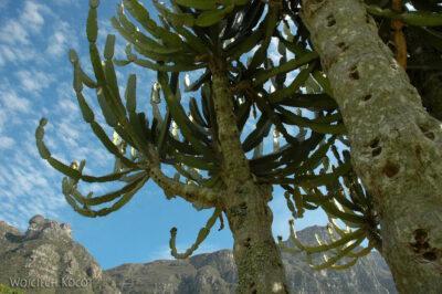 SA27017-Ogr.Bot - Kaktusy
