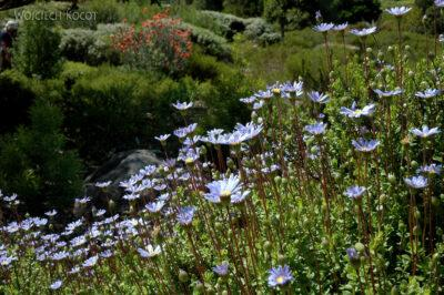 SA27109-Ogr.Bot - Wioswnne Kwiaty Przylądkowe