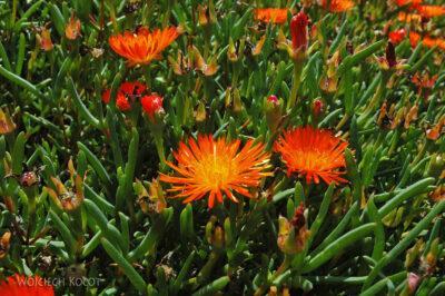 SA27114-Ogr.Bot - Wioswnne Kwiaty Przylądkowe