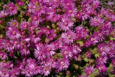 SA29027-West Coast National Park - Wiosenne Kwiaty