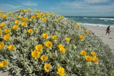 SA29138-Brzeg Altlantyku - Kwiaty