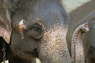 Popisy słoni