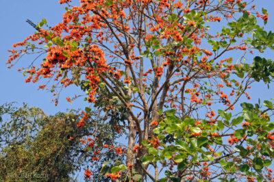 Drzewo koralowe