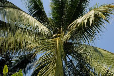 2L2136-Czychające kokosy