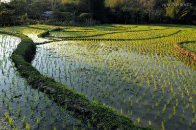 2L2210-Pola ryżowe