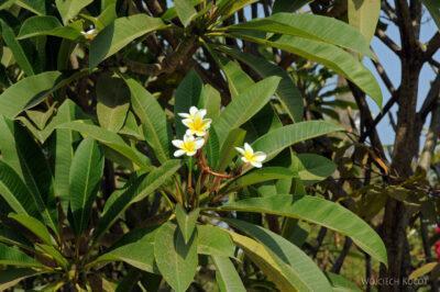 2L4059-Drzewo ikwiat Champa