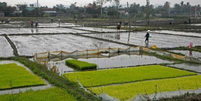 3W2023-Praca napolach ryżowych