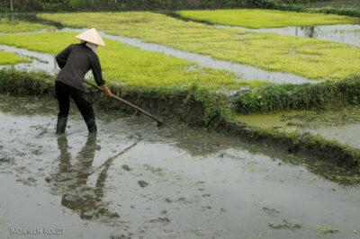 3W2027-Praca napolach ryżowych