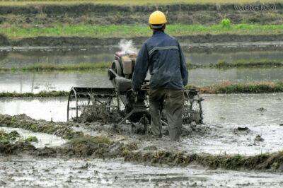 3W2029-Praca napolach ryżowych