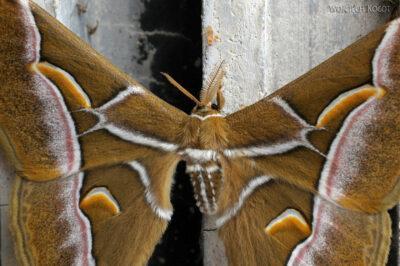 3W4154-Motyl