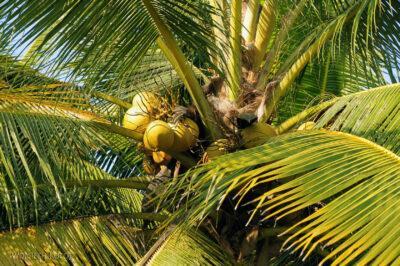 3W8129-Delta Mekongu - kokosy