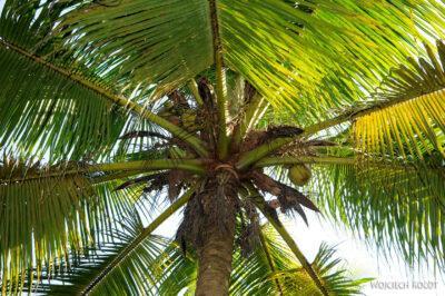 3W8131-Delta Mekongu - kokosy