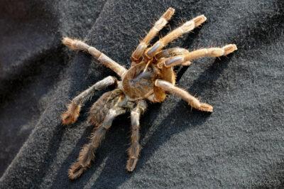 4K2011-Jego tarantula