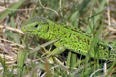 U01057-Jaszczurka zielona
