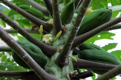 Ma06102-Tak rosną papaje