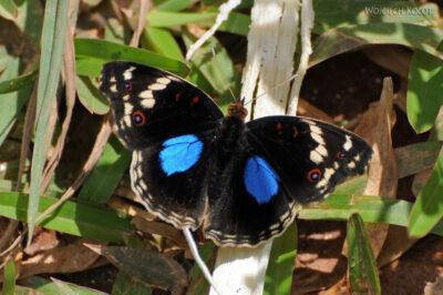 Ma07126-Motyl