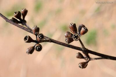 Ma09058-Gałazka eukaliptusa