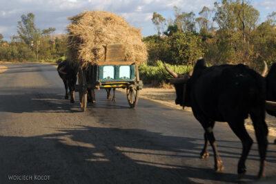 Ma19072-ZebuWozy - zwózka ryżu