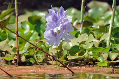 Ma13041-Wodne kwiatki