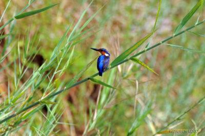Ma13083-Zimorodek (Kingfisher)