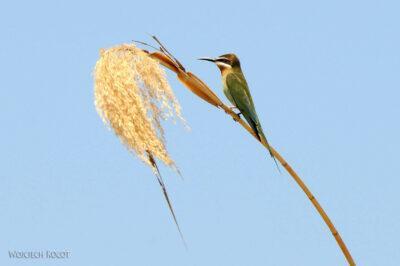 Ma13087-Bee-eater green (Żołna zielona)