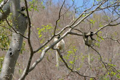 Ma14033-Lemury Sifaka
