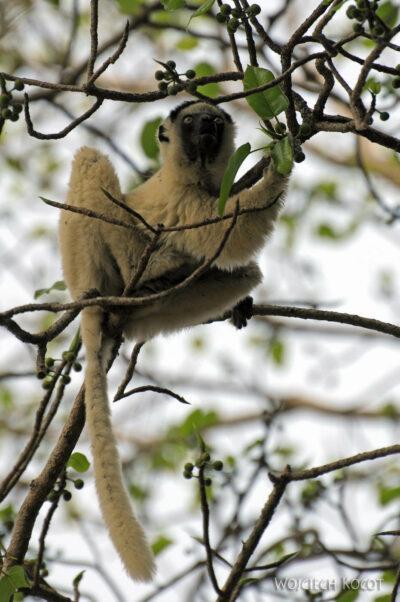 Ma14067-Lemury Sifaka