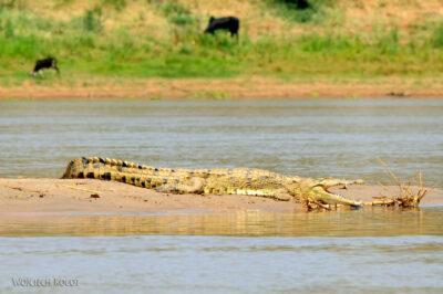 Ma15039-Krokodyl