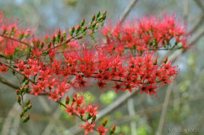 Ma15084-Krzew zczerwonym kwieciem