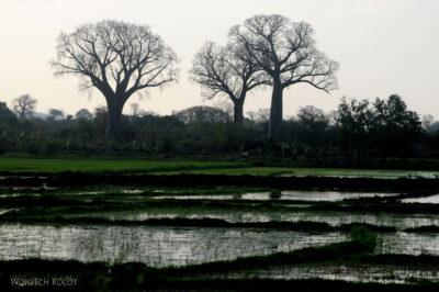 Ma15110-Baobaby