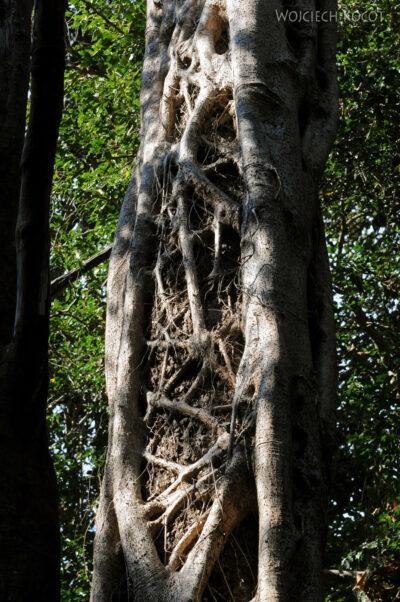 Ma17149-Tsingy - fikus dusiciel