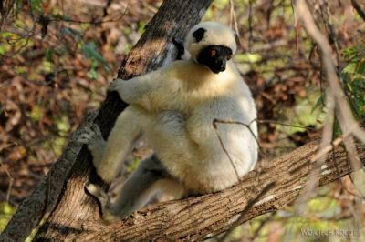Ma17154-Tsingy - lemur sifaka