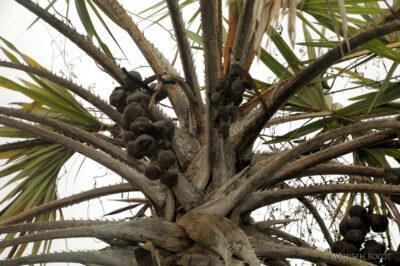 Ma18011-Suche owoce palmy