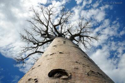 Ma18052-Baobab